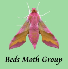 Beds Moth Group - Small Elephant Hawk-moth by Andy Banthorpe